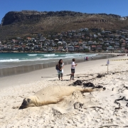 Buffel elephant seal
